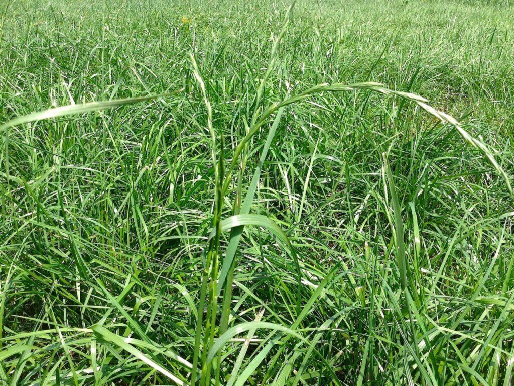 Ryegrass in wilson nc
